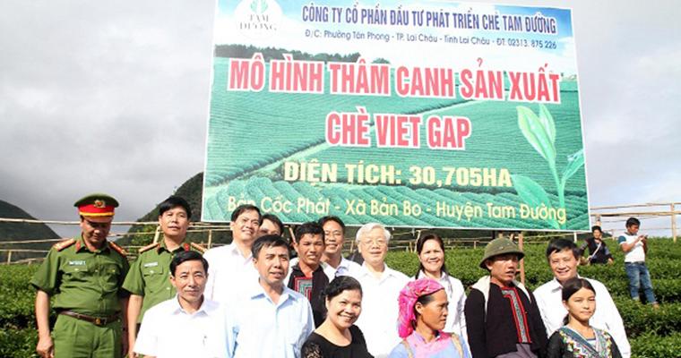 Chè Tam Đường đạt chứng nhận VietGAP trồng trọt